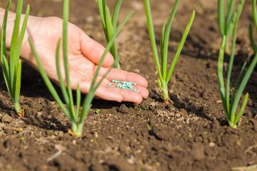 Fototapeta Young adult woman palm holding complex fertiliser granules for green onions. Closeup. Feeding of vegetable plants. obraz