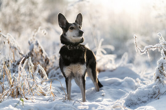The dog walks in the winter forest, there is snow around it.