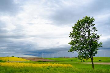 wiatraki na polu rzepaku w pochmurny dzień
