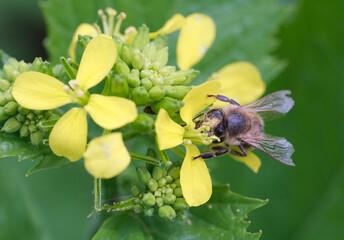 Fototapeta pszczoła zbiera nektar obraz
