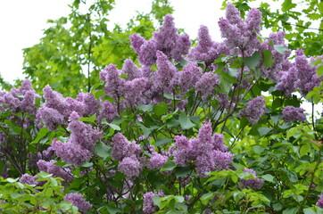 Bez ,Bez kwiat bzu , drzewo bzu ,kwiat, biała, charakter, roślin, zieleń, kwiat, jary, kwiat, jardin, kwiat, flora, lato, busz, drzew, beuty, kwitnienie, feuille, makro, bliska, starsi, bez, feuille,