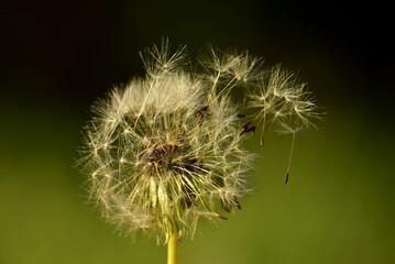 Dmuchawiec na wietrze z nasionami w powietrzu.