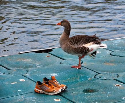 Fitness fanatic goose