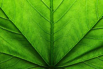 green leaf texture - fototapety na wymiar
