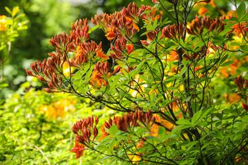 Obraz Kwitnący krzew - fototapety do salonu