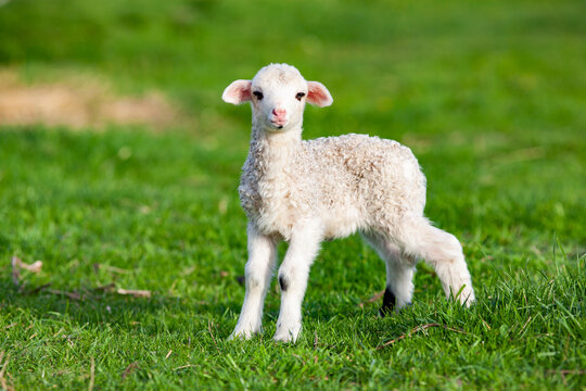 Cute little lamb in spring time, Salciua, Romania