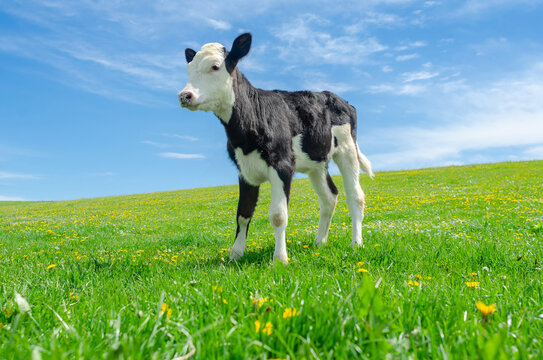 Calf grazes on a green pasture on a background of blue sky