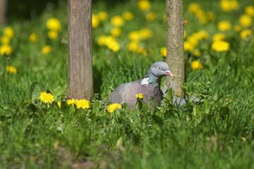Gołąb ,dziki gołąb ,gołąb niebieski ,ptak w parku