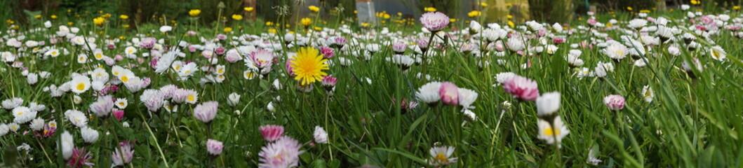 Stokrotki ,kwiaty stokrotki ,kwitnący ogród ,ogród w kwiatach ,stokrotki i mlecze ,panorama ogrodu