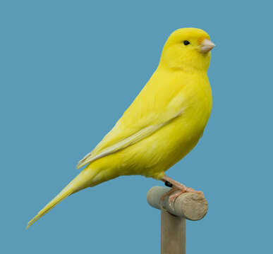 Yellow canary bird perched in softbox