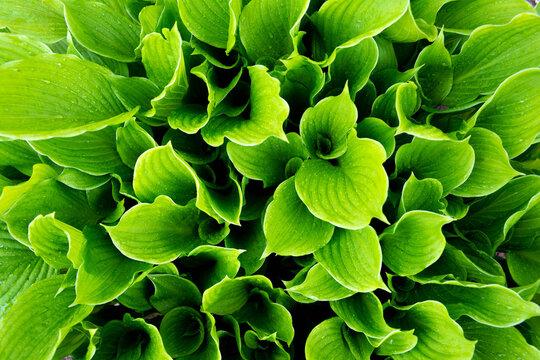 Green hosta leaves, dew drops on fresh green hosta leaves, green hosta