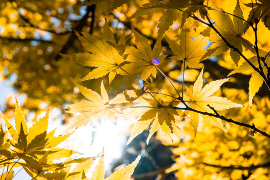 Sun shining with flare through orange autumn leafs - looking up a tree
