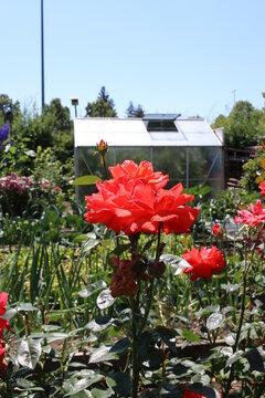 Urlaub im eigenen Garten - Ferien Zuhause - Blume vor einem Gewächshaus