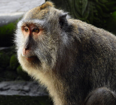 close up of white-tailed macaque in the sacred monkey forest in ubud,  bali, indonesia