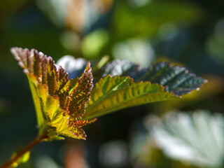Obraz młody liść - fototapety do salonu
