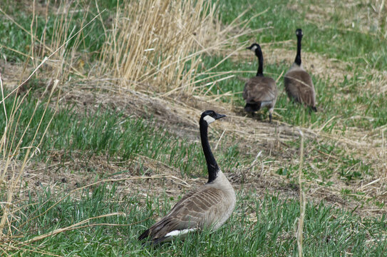 Canadian Geese in the Grass