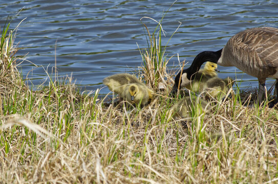 A Canadian Goose Family in the Grass