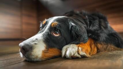 Pies berneńczyk leży na podłodze - mała głębia ostrości