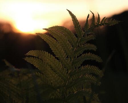 夕日とシダ
