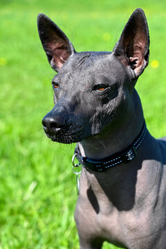 Xoloitzcuintle (Mexican Hairless Dog) portrait close-up with black collar on bright green natural background outdoor shot in sunny day
