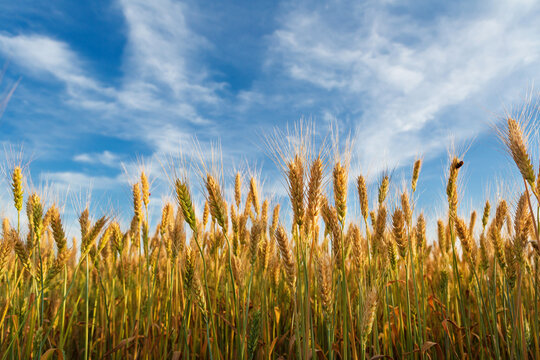 Landscape with golden grain and blue sky, harvest concept
