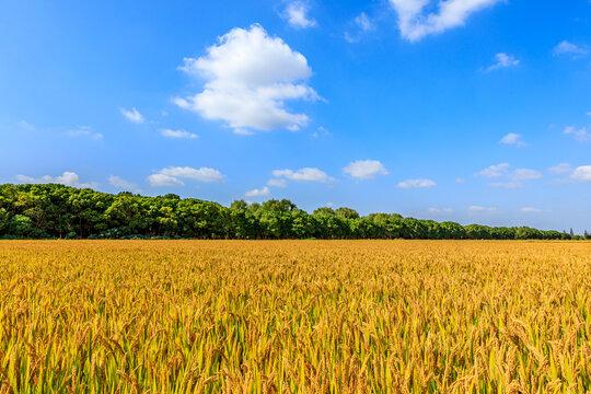 Ripe rice on the farm in autumn season.