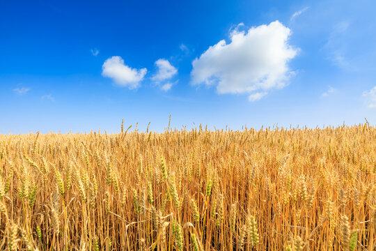 Ripe wheat in the farm field under blue sky.