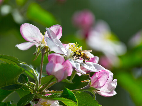 Bee collects nectar and pollen from apple blossoms. This is the honey harvest that only supports the life of the insect colony.