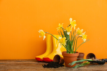 Gardening tools with narcissus plants on table