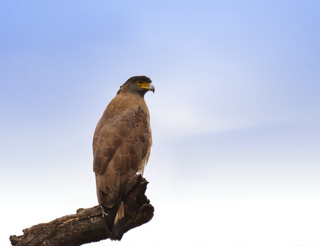 Crested Serpent Eagle resting on big branch against cloudy background of bandhavgarh national park