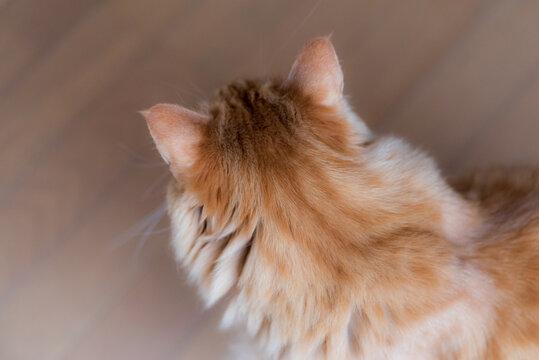 猫を触りたい 茶トラ猫