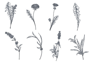 Dandelion flowers and leaves, lavender branches and leaves in the hand drawn floral collection - fototapety na wymiar