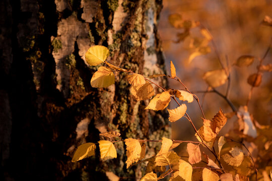 Birch tree and foliage in autumn colors
