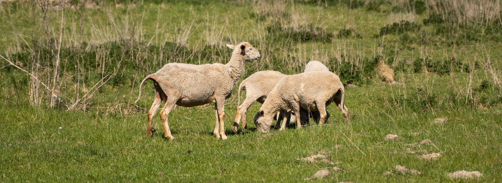 Four sheeps on the beautiful green meadow.