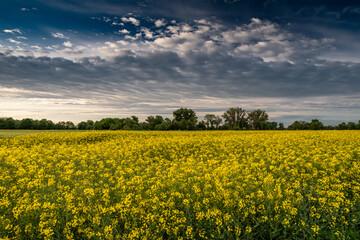 Fototapeta sielski pejzaż wiejski z polami rzepaku i lasami obraz