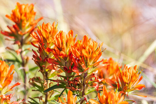 Indian Paintbrush wildflowers in the Texas hill country.