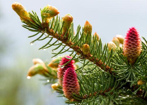 Cones of fir tree.