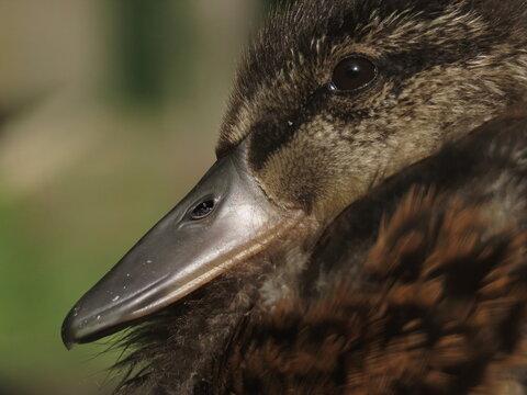 Cute young baby mallard (Anas platyrhynchos) macro close-up. Duckling close-up. Duck hatchling making eye contact with camera, eye level shot.