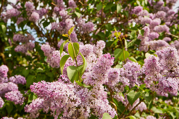 Obraz Common lilac, Sambucus, Syringa vulgaris, blooming lilac, spring, flower, plant - fototapety do salonu