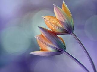 Obraz Kwiaty Tulipany botaniczne. Flowers in dew - fototapety do salonu