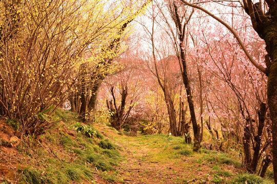 花見山公園の桜とレンギョウの小道