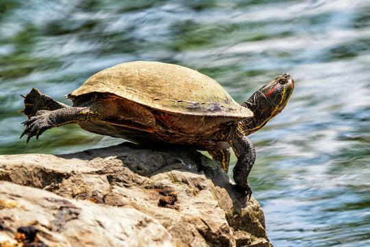 Exotischer Balance-Künstler im Stadtpark beim Sonnenbad - oder wie eine Rotwangenschildkröte die Hebelgesetze verwendet, um auch außerhalb des Wasser möglichst wenig Gewicht zu tragen.