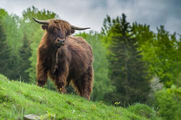 Szkocka krowa highlander