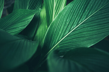 Obraz green leaf nature texture background, abstract pattern of tropical foliage plant in spring garden, fresh tree jungle forest in summer, wallpaper design of environment, ecological conservation concept - fototapety do salonu