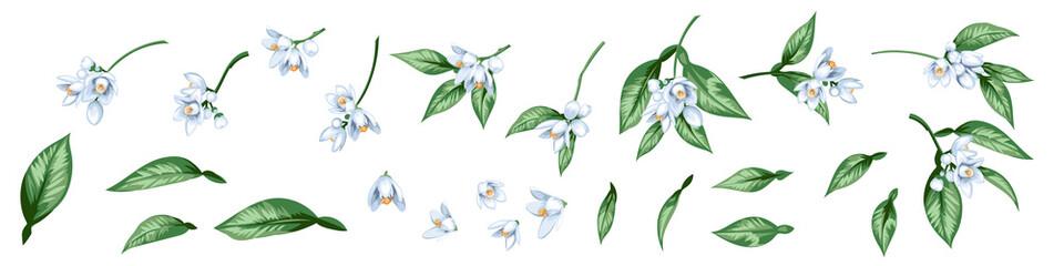 Fototapeta Set of citrus blooming branches obraz