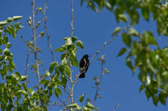 A Male Red-Winged Blackbird in a Tree