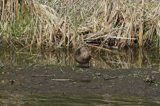 A Female Mallard Duck on Land