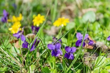 Fiołek, Viola, roślina, lecznicza, polny, dziki,