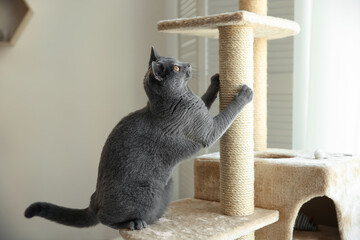 Fototapeta Cute pet sharpening claws on cat tree at home obraz