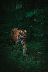 Obraz Vertical shot of a beautiful Bengal tiger walking in the lush green forest - fototapety do salonu